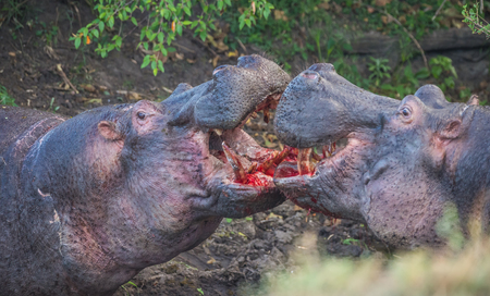 Partially blurred image of two hippos fighting to blood in Masai Mara, Kenya Stock Photo