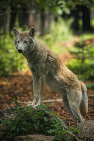 Image of wolf in natural habitat, Curonian Spit, Kaliningrad region, Russia
