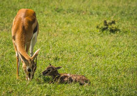 Image of antelope Thompson and her newborn baby in Masai Mara, Kenya Stock Photo