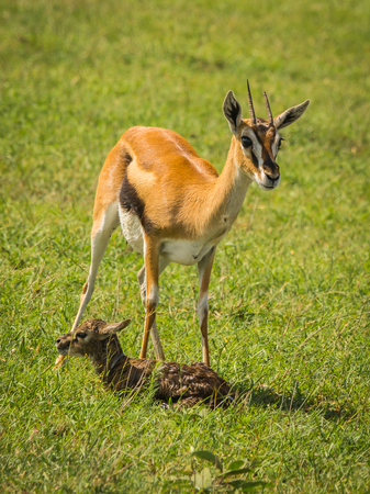 Image of antelope Thompson and her newborn baby in Masai Mara, Kenya Stock Photo