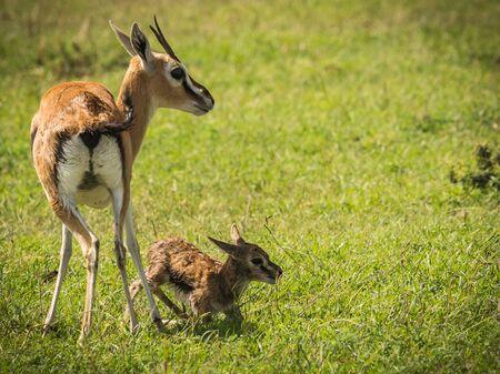 Image of antelope Thompson and her newborn baby in Masai Mara, Kenya Фото со стока