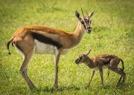 babies: Image of antelope Thompson and her newborn baby in Masai Mara, Kenya Stock Photo