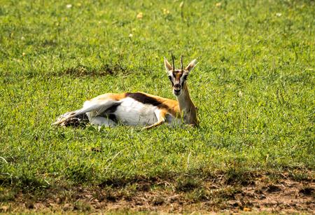 Image of thompson antelope giving birth to  baby in Masai Mara, Kenya Stock Photo