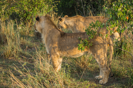 Image of lioness hunter in  Masai Mara nature reserve in Kenya Stock Photo