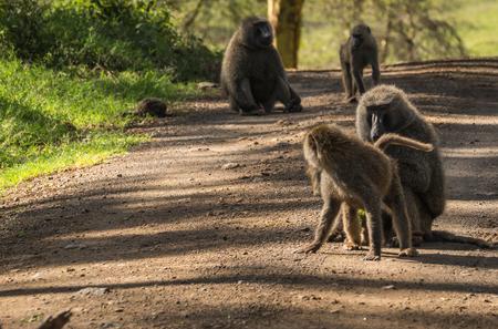 Image of monkey baboons near Lake Nakuru in Kenya