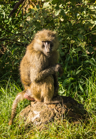 Image of monkey baboons near Lake Nakuru in Kenya