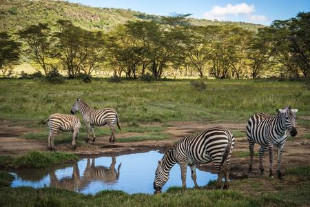 Image of zebras in Masai Mara in Kenya Stock Photo
