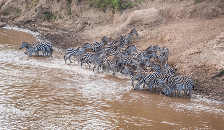 Zebras and wildebeest during migration from Serengeti to Masai Mara in Kenya