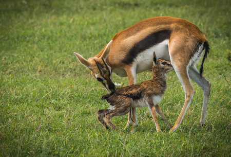 Image of antelope Thompson and her newborn baby in Masai Mara, Kenya Reklamní fotografie