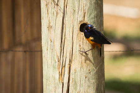 Portrait of beautiful african starling with blue wings and yellow body in Kenya Фото со стока