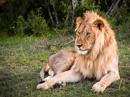 Image of big male lion  in Masai Mara nature reserve in Kenya Stock Photo