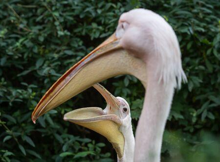 Image of white pelicans in Baltiysk, Kaliningrad region, Russia