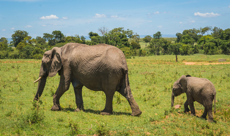 Image of african elephants in Masai Mara in Kenya Stock Photo
