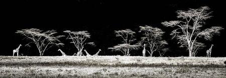 Eastafrican giraffes in Masai Mara safari park in Kenya Africa