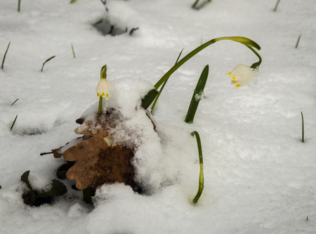 Closeup view of just appeared white spring flowers lavishly covered with fluffy snow after weather phenomena - snowfall in late April near Moscow