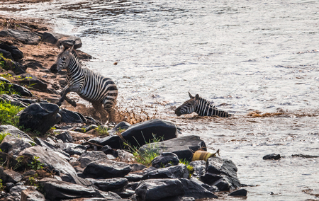 Zebras and wildebeest during migration from Serengeti to Masai Mara in Kenya