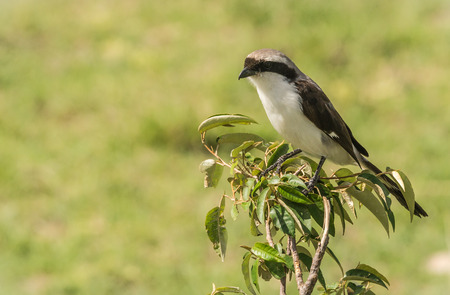 Image of black and white  bird on  branch in Masai Mara, Kenya
