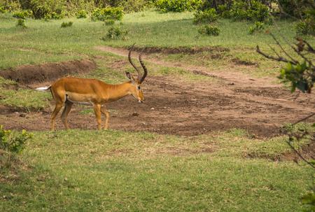 Image of african antelopes  impala in Masai Mara in Kenya