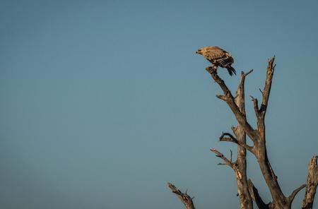 Image of an eagle on  branch in Masai Mara, Kenya