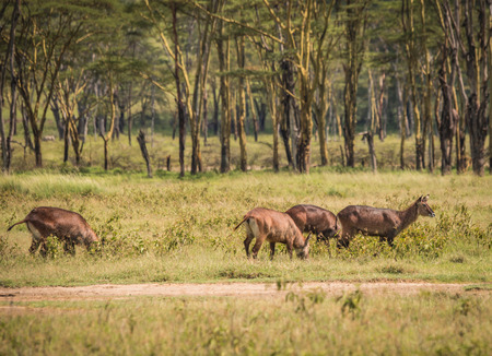 Image of african water goat  in Masai Mara in Kenya Banque d'images