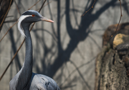 Close up portrait of  large gray heron with  white tuft