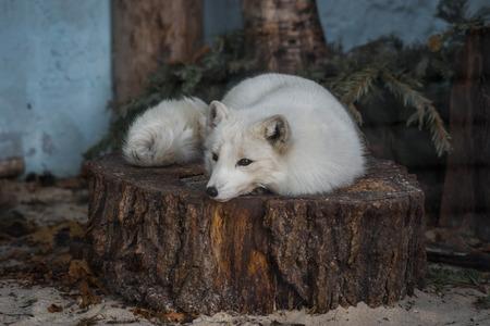 Image of fluffy white fox lying on a stump Banco de Imagens
