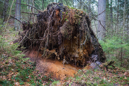 Stumps and roots of trees in wood on damn settlement in Kaluga region in Russia 版權商用圖片