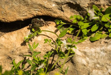 Lizard on ruins of ancient Greek tomb in Mycenae on Peloponnese in Greece