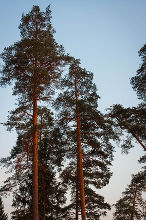 Image of pines at sunset near Blue Lakes, Russia