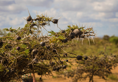 Image of bushes with large spines and round brown fruits in which ants inhabit  in African bush, Kenya
