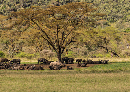 Image of white rhino and other animals grazing in a shroud near Lake Nakuru in Kenya in Africa (selective focus) Imagens