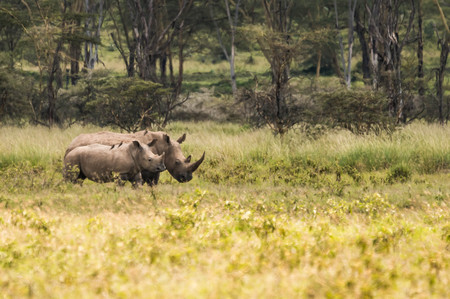 Image of white rhino and other animals grazing in a shroud near Lake Nakuru in Kenya in Africa (selective focus)