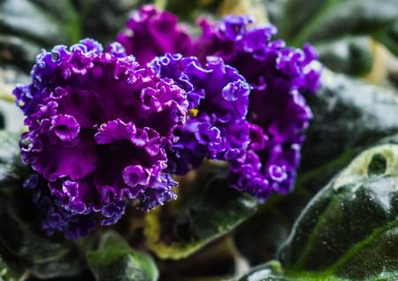 """Bild von Zuchtfrottee lila violett """"Quasar"""" Standard-Bild"""