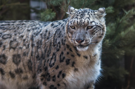 Close up image of  large well-groomed snow leopard Stock Photo