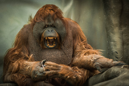 Image of large red sumatran orangutan with round face