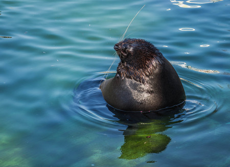 Image of sea lion floating in blue water