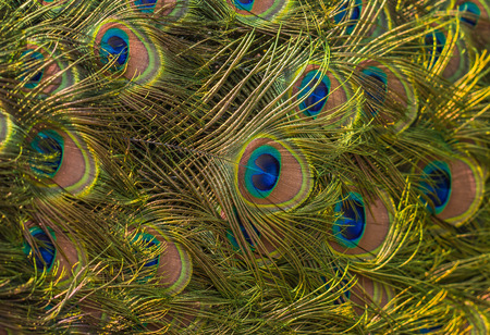 Image of beautiful pattern of colorful and bright peacock feathers Stock Photo