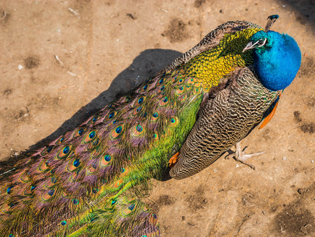 Image of bright beautiful peacock with pink, green and orange feathers in tail