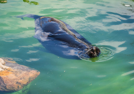 Image of sea lion floating in green water