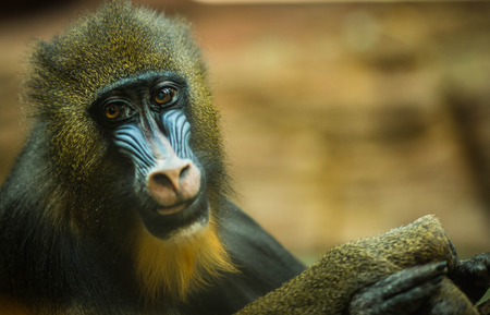Image of large multicolor mandrill with expressive face