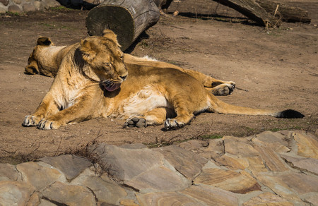 Image of two lionesses resting on the meadow Stock Photo