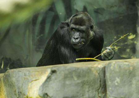 Portrait of a huge black gorilla sitting on a big stone