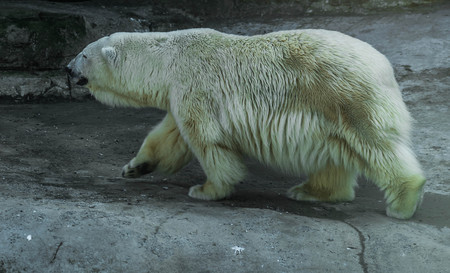 Image of huge white bear in spring on a walk