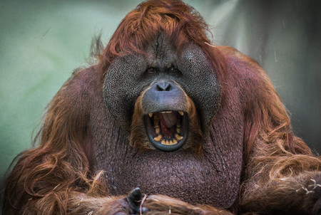 Image of large red orangutan with round face Stock Photo