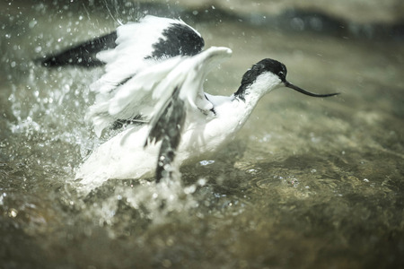 Image of black and white avocet frolicking in the pond