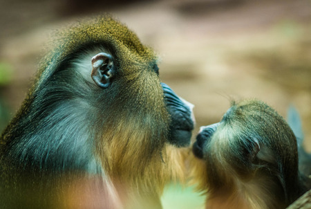 Image of large multicolor mandrill with a baby