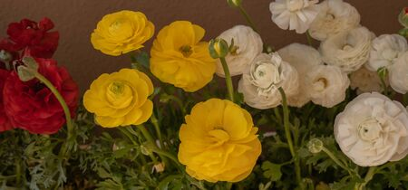 Lushly blooming yellow and white asian buttercups (ranunculus) in pots on the balcony