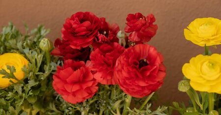 Lushly blooming red asian buttercups (ranunculus) in pots on the balcony