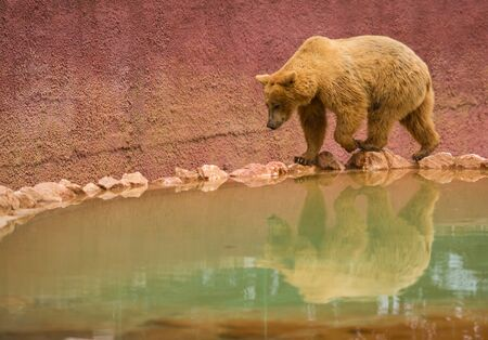Image of brown bear on a walk near small pool Banco de Imagens