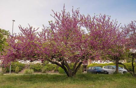 Image of gloves of carob or Judas tree blooming in the parks of Rome, Italy